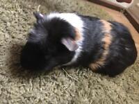 Tricoloured small male guinea pig