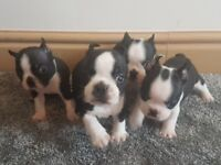 **Stunning KC Boston Terrier Pups For Sale**