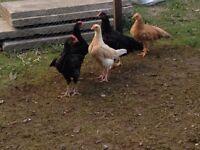 Shamo chickens for sale