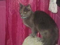 MAINECOONE X RAGDOLL FEMALE CAT 11 MONTHS OLD
