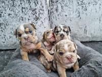 English bulldog Puppies Premium