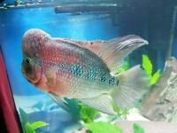 "12"" flowerhorn fish"