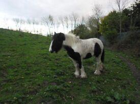 cob mare for sale