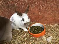2 Baby Netherland Dwarf Rabbits for sale