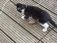 KITTENS READY TO GO NOW AS THEY ARE 10 WEEKS MUM CAN BE SEEN £75