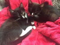 Affectionate 10 week old kittens for sale