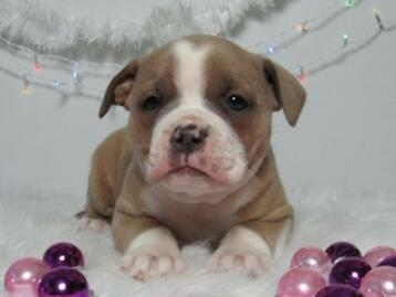Old English Bulldog pups, 't gezonde type, mogen direct mee!
