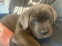 Full breed cane corso puppies