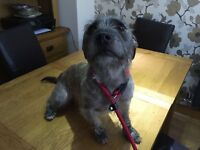 Jack Russell x Staffie x Yorkie Cross - Free to good home