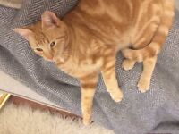 MISSING ginger tabby cat in Exeter