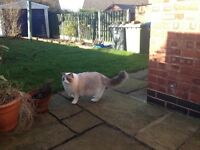 Missing grey and white Ragdoll cat from Chesterfield