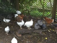 POL Hens for Sale - coloured varieties