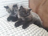 Beautiful Ragdoll Cross Kittens