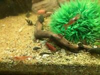 Tropical bristlenose , Shrimp and endler guppy mix
