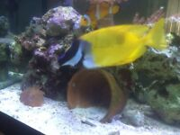 Foxface fish for sale