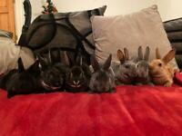 Purebred Mini Rex Rabbits - Sold