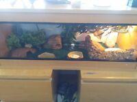 3ft (90cm) vivarium full setup with leopard gecko morph
