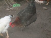 2 BLACK FRENCH COPPER MARAN P.O.L. HENS FOR SALE
