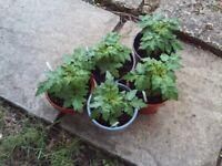 Patio Tomato plug plants