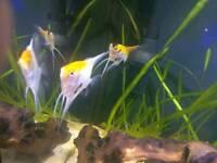 Blushing koi angelfish