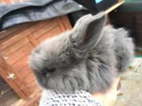 Minilop rabbits