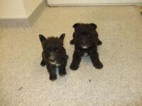 5 lovely Wauser puppies Westie cross Miniature Schnauzer 3 girls 2 boys mainly black