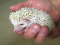 Baby pure white African Pygmy Hedgehog & cage!
