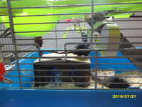 2X BABY BLACK MONGOLIAN GERBILS,FEMALES,WITH CAGE