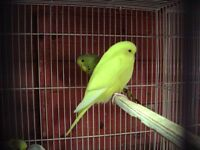 Baby budgies for sale from £10 to £15.