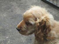 Gorgoues Show type Golden Cocker Male Puppy