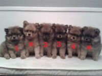 pomeranian puppys for sale