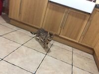 For sale pure Bengal cat