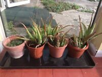 Aloe Vera and other plants including Terracotta pot