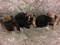 Frenchie puppies from KC reg parents