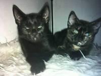 2 black Turkish angora boy and girl kittens for sale