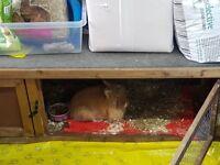 Lovely lion-head rabbit Lucinda