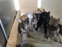 Beautiful Chihuahua puppies £650-£700