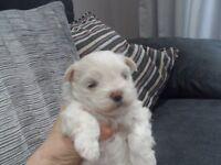 Bichon Maltese Puppies for sale