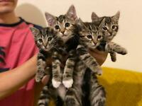 4 x Tabby Bengal kittens for sale