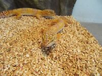 Male and female pair of leopard geckos with full kit