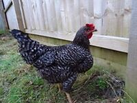 Hen Chicken Pet