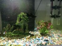 Tropical fish for sale - Neon tetras, black neon tetra and black mollies