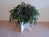 Schlumbergera ( Christmas Cactus )
