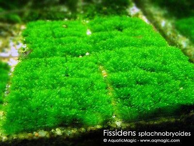 Fissidens Mini-Live Plant for Plastic Acrylic Aquarium
