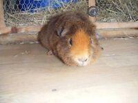 Male Teddy Guinea Pig
