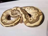 Adult male butter orange ghost royal ball python / snake