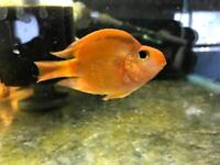 Tropical fish for sale. Community, cichlids, plecos and more