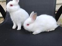 Netherland dwarf bunnies pure bred