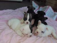 Pedigree French bull dog puppies