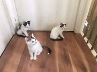 Gorgeous 9 week old kittens